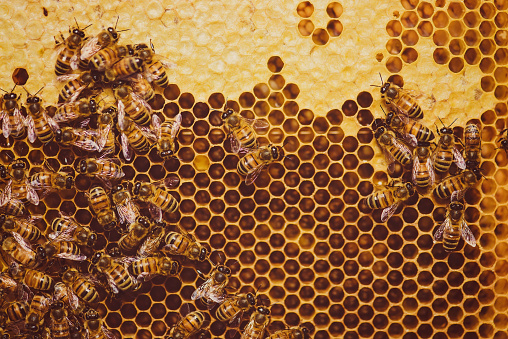 Bees feeding cells with honey honeycomb 543973710