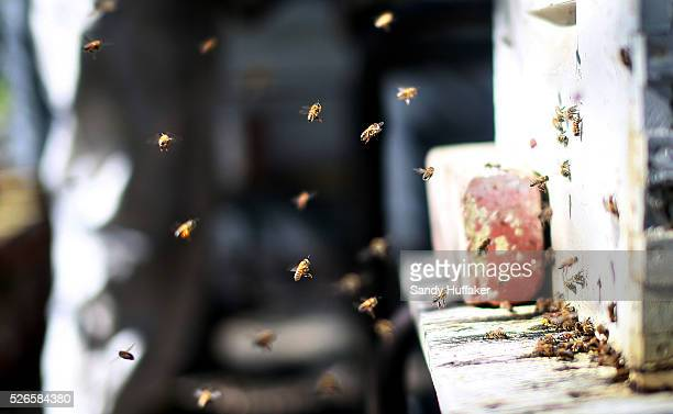 Bees fly around their hive at Mark Kukuchek's backyard Bee Hive in Bonita CA on Thursday February 12 2015 The city of Los Angeles and San Diego...