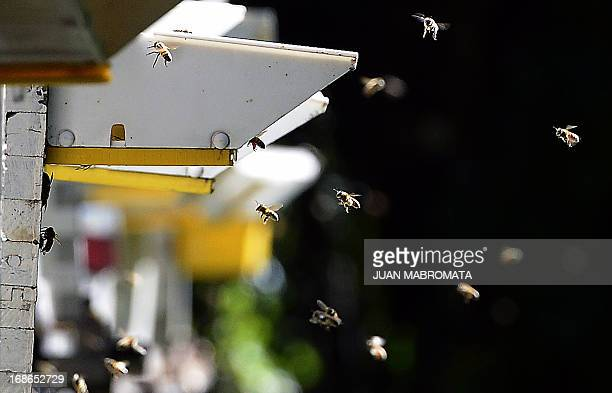 Bees fly back to their hive at an apiary in an island of the Parana delta near Ibicuy Entre Rios Argentina some 170 km northeast of Buenos Aires on...
