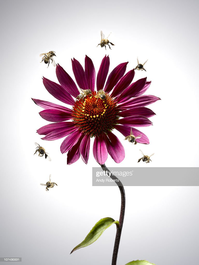 Bees flying around blooming flower : Foto de stock