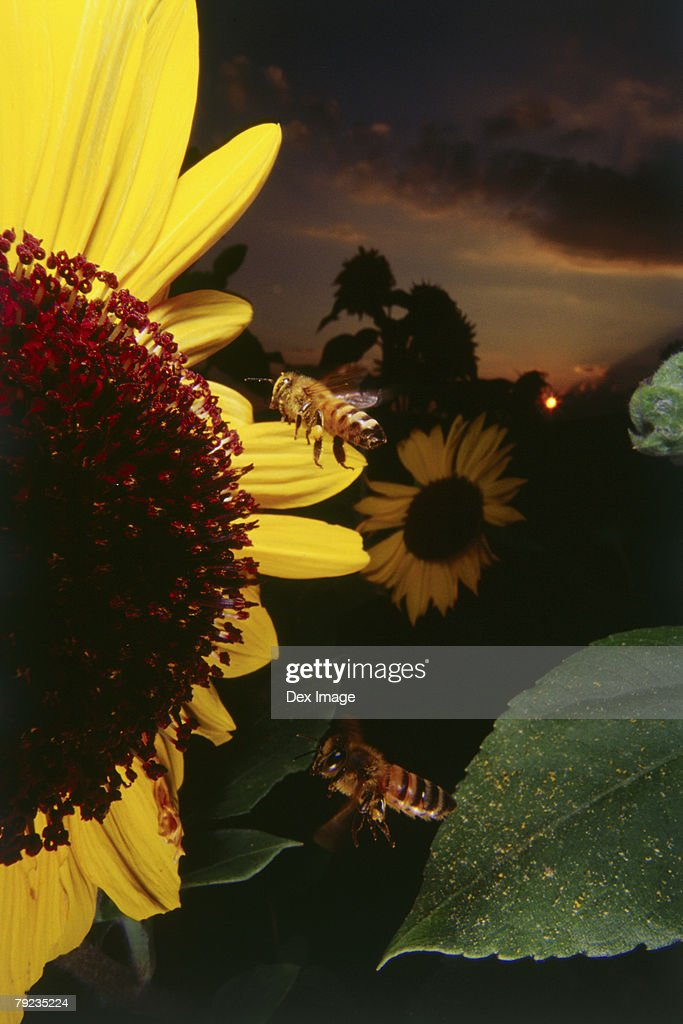 Bees flying near sunflower at sunset, close up : Stock Photo
