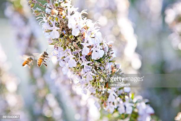 Bees in flight at a rosemary plant