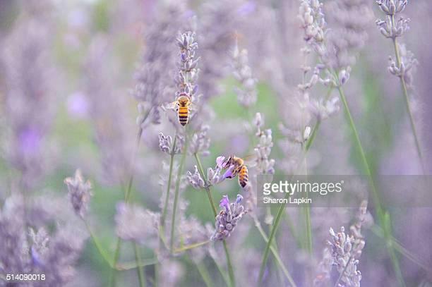 Bees in lavender flowers