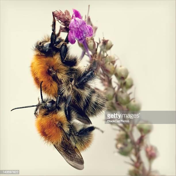 bees mating on flower - tierpaarung stock-fotos und bilder