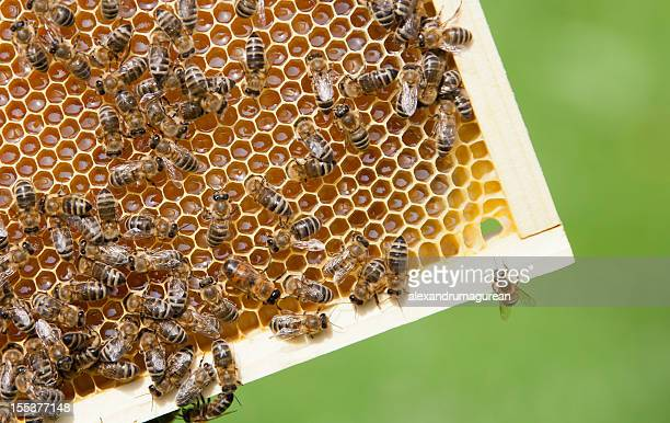 Bees On A Frame
