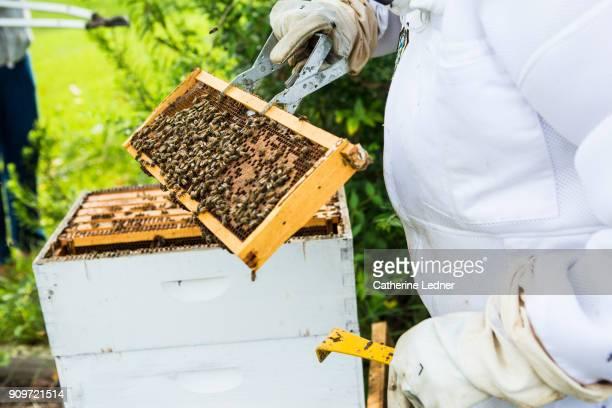 bees on fresh honeycomb at honey harvest
