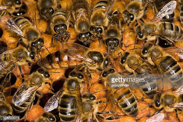 bees on honeycomb - queen bee stock pictures, royalty-free photos & images