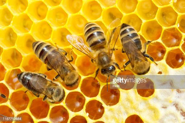 bees on honeycomb - bee stock pictures, royalty-free photos & images