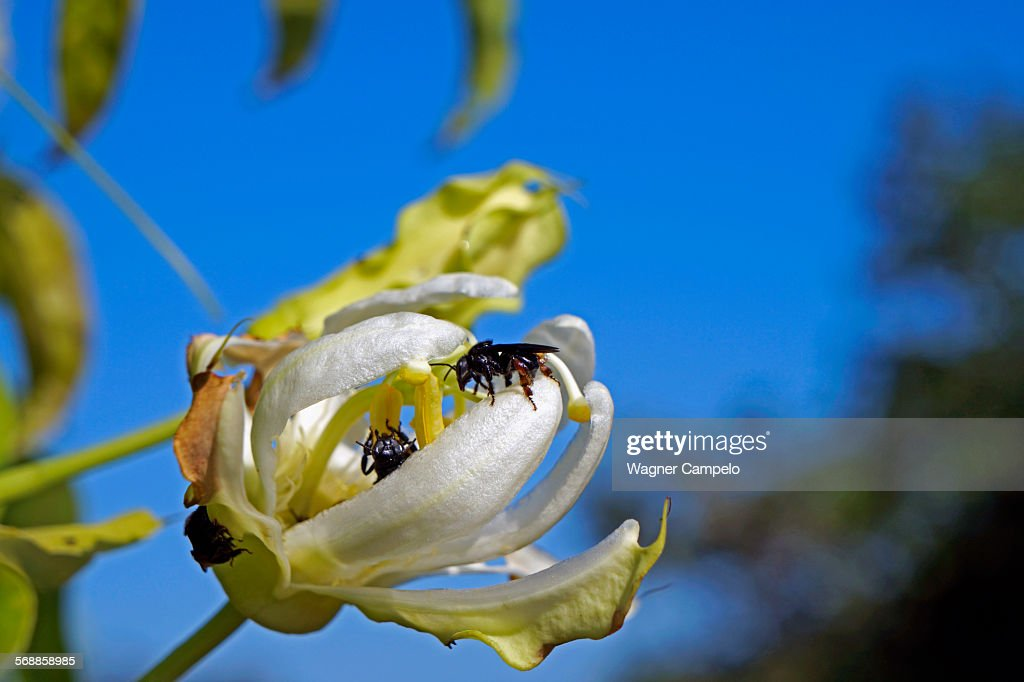 Bees on Wild Passion Flower : Stock Photo