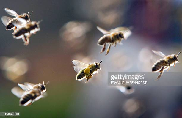 Bees partly loaded with pollen return to their hive on March 21 2011 in Frankfurt/Main central Germany Meteorologists forecast sunshine and mild...