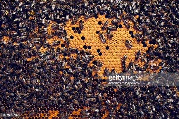 bees - bees stock pictures, royalty-free photos & images
