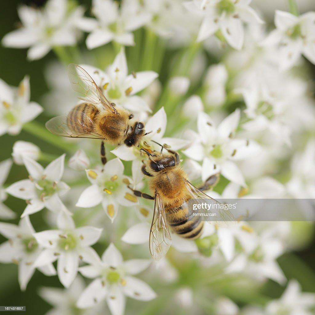 Bees : Stock Photo