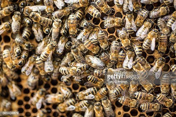 bees - honey bee stock pictures, royalty-free photos & images