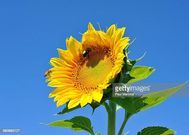 Bees pollinating bright yellow sunflower
