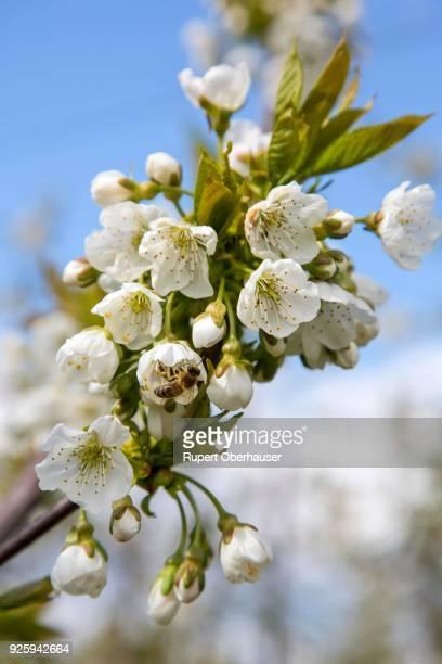 Bees pollinating cherry blossoms, cherry, orchard, Toenisvorst, Niederrhein, North Rhine-Westphalia, Germany