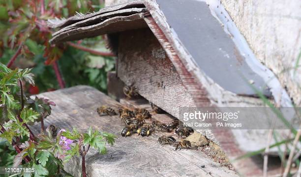 Bees return to a hive with their legs laden with pollen, near the 5,000 apple trees at Ardress House in County Armagh have come into early bloom...