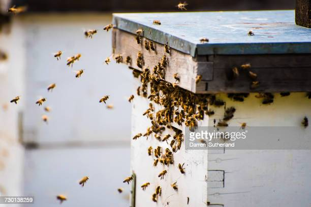 bees returning to a beehive, vancouver, british columbia, canada - beehive stock pictures, royalty-free photos & images
