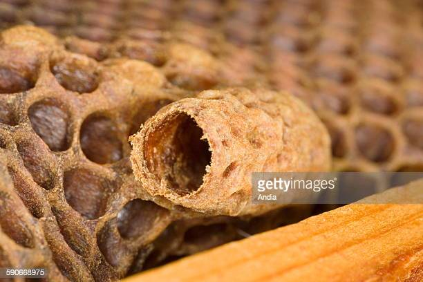 Bees Royal cell Alveolus used to feed a new queen bee