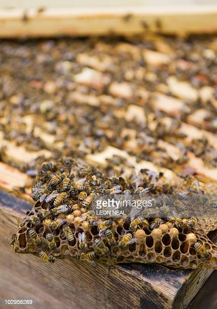 Bees swarm over a piece of honeycomb on a hive in west London on September 6 2009 In tiny urban gardens Britons are doing their bit to counter the...