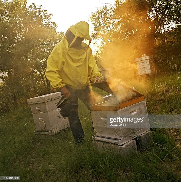 Bees' Transhumance In France In June, 2005 - The hives are smoked out to make sure that the bees quietly stay inside their wood houses during the...