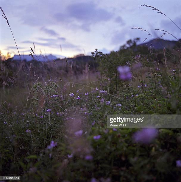 Bees' Transhumance In Queyras, France In June, 2005 - Sunset on the mountain of Lure -When the night falls the bees' activity decreases, it's the...