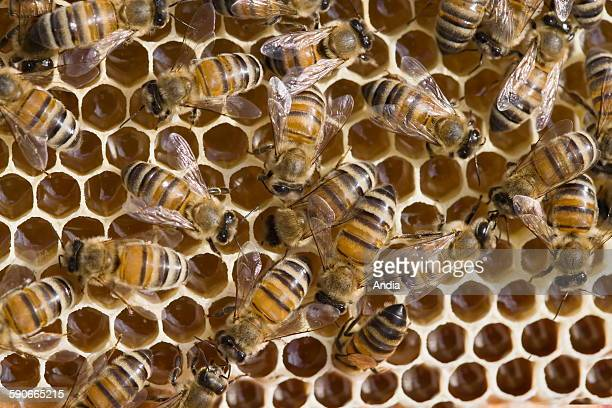 Bees using their wings to ventilate the alveolus filled with nectar and evaporate the water inside Honeycombs wax cells