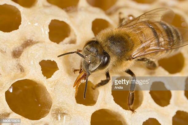 Bees Worker filling and sealing alveolus filled with honey