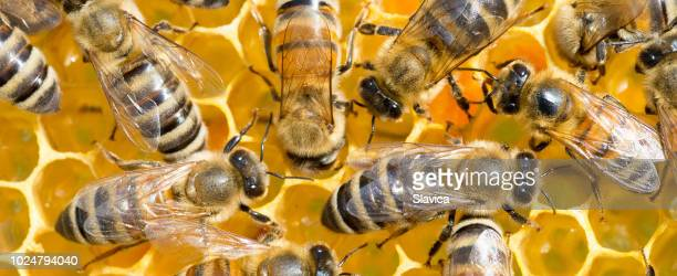 bees working in the beehive - colony group of animals stock photos and pictures