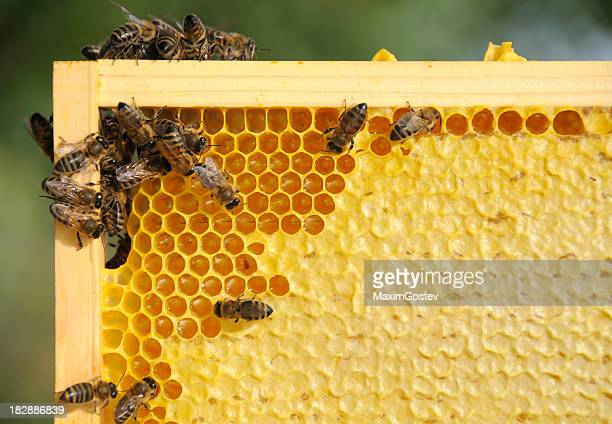 Bees working on a honey frame close-up