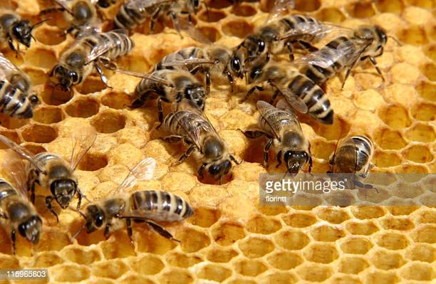 bees working  on comb