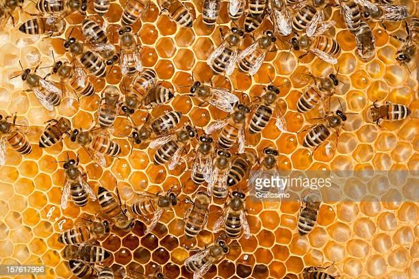 Les abeilles travaillent sur peigne de miel