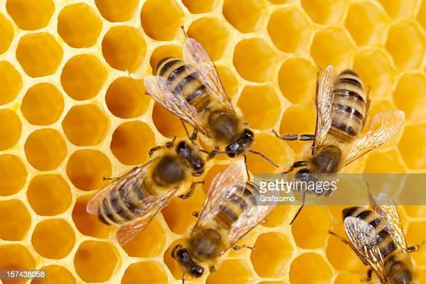 Bees lavorando a nido d'ape