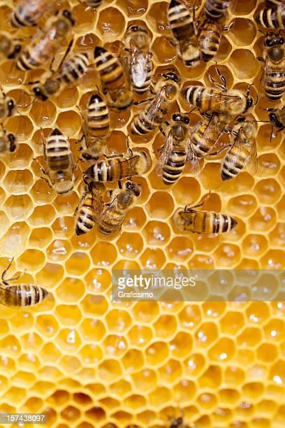 Bees trabajando panal