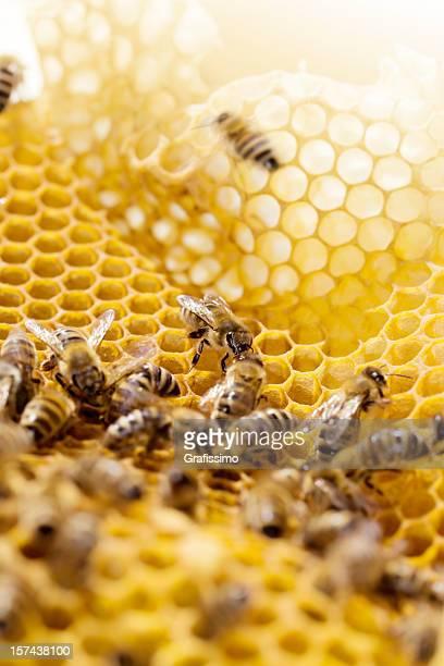 Abelhas de trabalho no Favo de mel