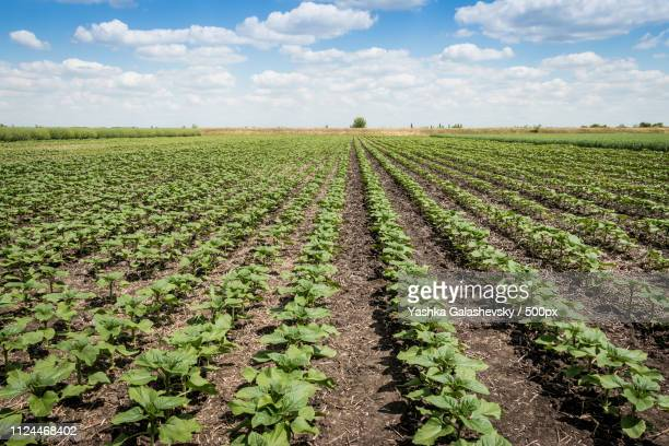beet field sky - brassica rapa stock photos and pictures