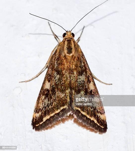 Beet Webworm Moth (Loxostege sticticalis)