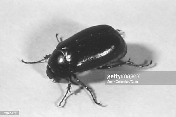 Beetle member of the largest Order of insects Coleoptera 1972 Image courtesy Centers for Disease Control