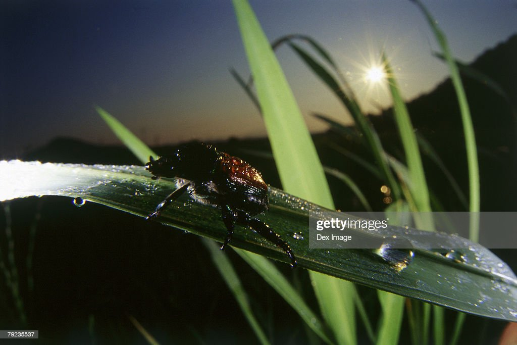 Beetle on blade of grass, close up : Stock Photo