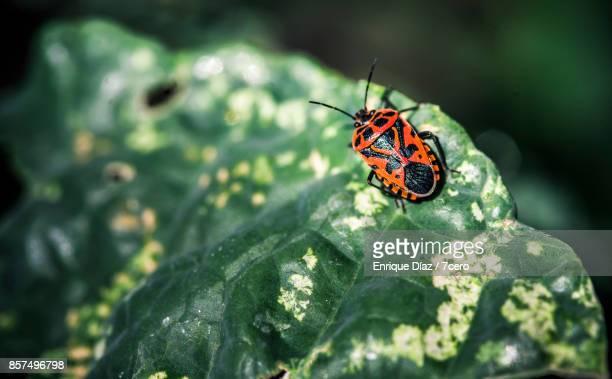 Beetle on leaf, Arbúcies (Spain)