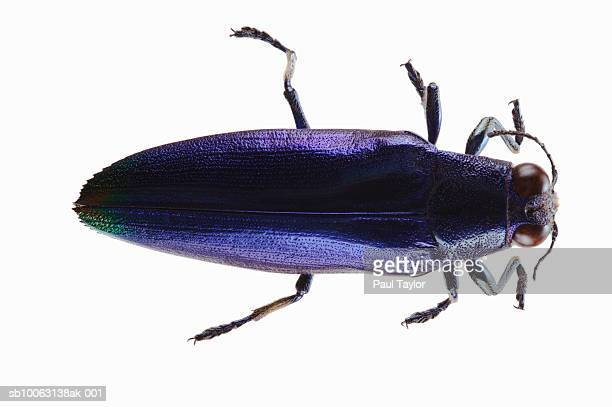 Beetle (Chrysochroa fulminans) on white background, overhead view