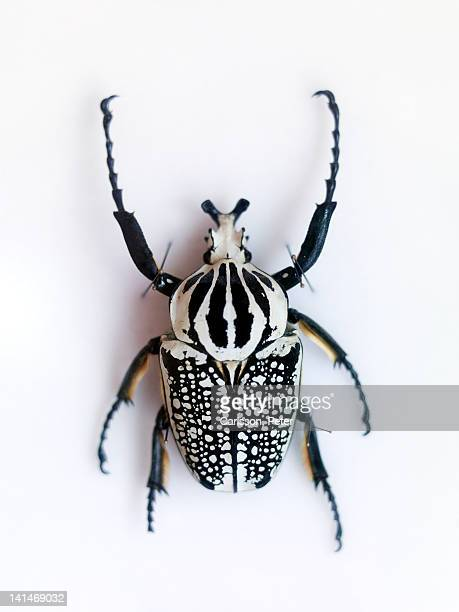 beetle on white background - beetle stock pictures, royalty-free photos & images