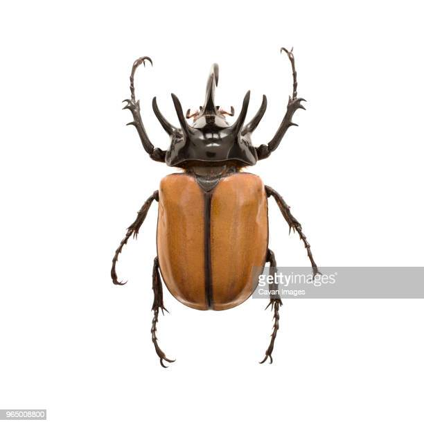 beetle over white background - horned beetle stock pictures, royalty-free photos & images