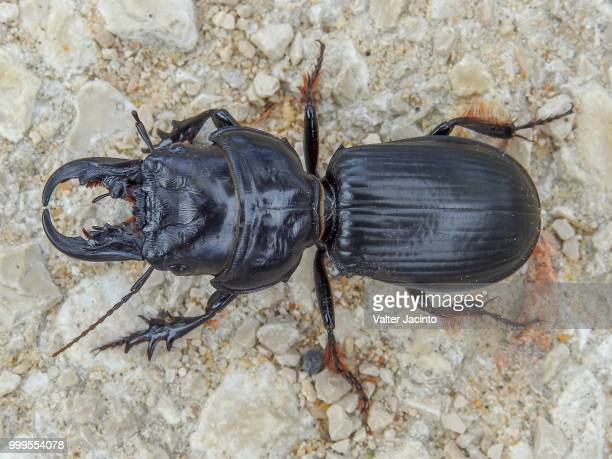 beetle (scarites cyclops) - arthropod stock pictures, royalty-free photos & images
