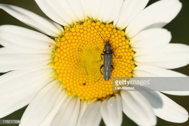 A beetle sits on a wild daisy at 'Thurrock Thameside Nature Park' on June 6 2013 in Thurrock England The 120 acres of grass bramble and shrub that...