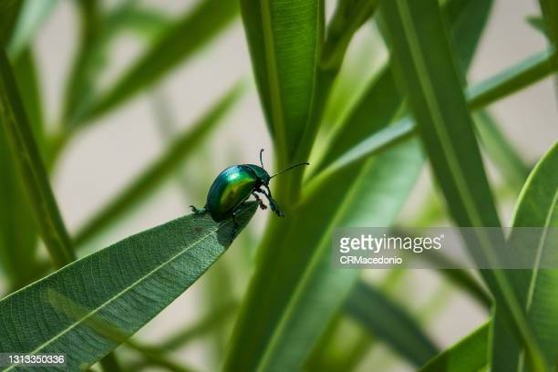 beetle strolling on the green leaves. - crmacedonio stock pictures, royalty-free photos & images