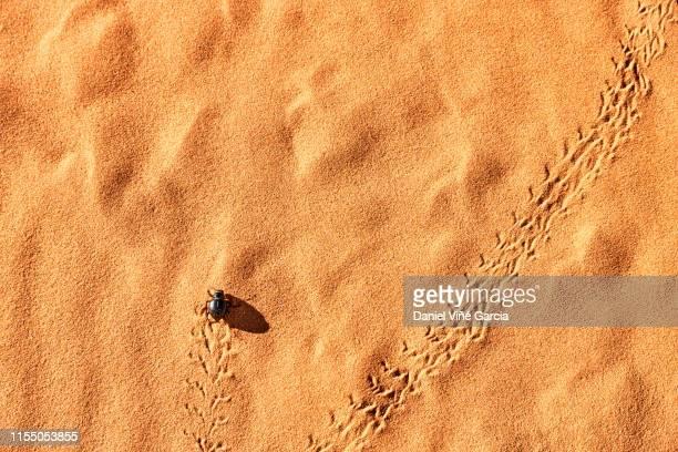 beetle walking on sand dune, utah, usa. - nordafrika stock-fotos und bilder