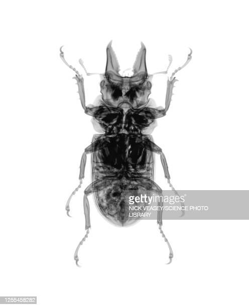 beetle, x-ray - beetles with pincers stock pictures, royalty-free photos & images
