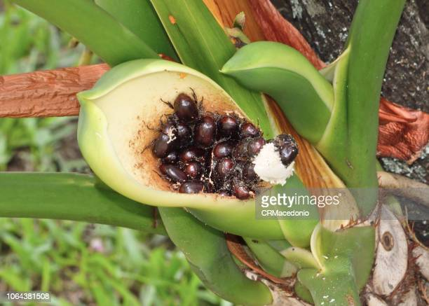 beetles feeding on philodendron berries. - crmacedonio stock photos and pictures