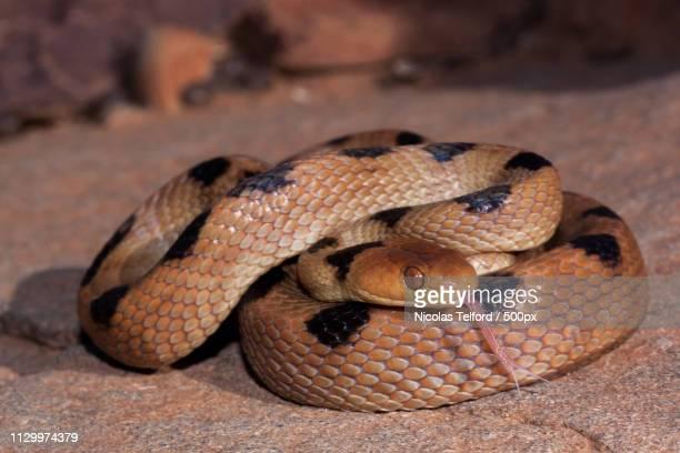 beetz's tiger snake - telescopus beetzi - serpente tigre foto e immagini stock