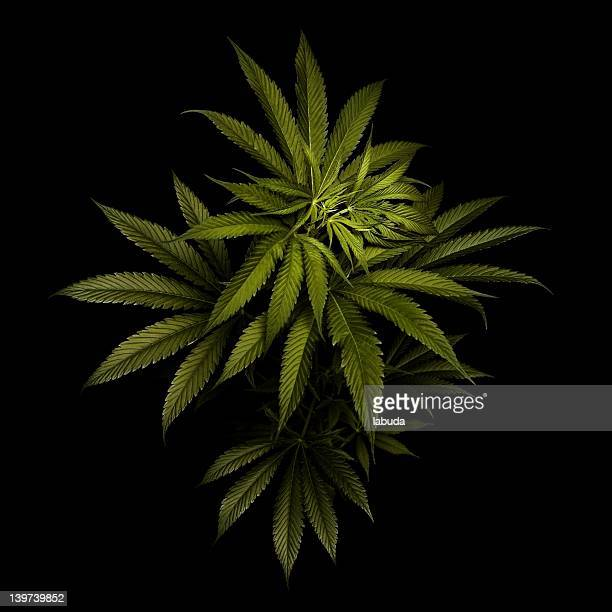 before the high... - marijuana stock photos and pictures